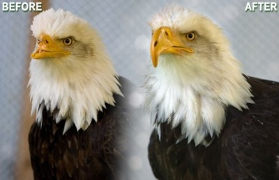 Beauty-the-bald-eagle-new-beak